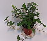 Ivy  별 아이비(s)/아이비/별아이비/공기정화 식물|