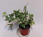 Ivy  별 아이비 무늬화이트(s)/아이비/별아이비/공기정화 식물|