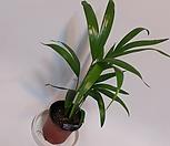 아레카야자(소품) 야자나무/야자묘목/공기정화식물/관엽식물/공기중 습도 가습효과식물/모종|