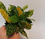 무늬크로톤(소품)/크로톤/바나나크로톤/공기정화식물/관엽|