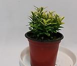 미니사철 무늬(s)/공기정화식물/고무나무/콩고/야자/스킨/스파트/아이비/별아이비/공기정화 식물|