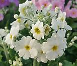 마라코이데스 (중소품)큰꽃 /마라고이데스/다양한 꽃잎칼라~랜덤발송/프리뮬러/오브코니아/앵초/쥴리안|