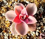 웨스트레인보우-빨19|Echeveria rainbow