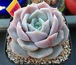 블루서프라이즈1-685 Echeveria Blue Surprise