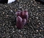 XP1019-Conophytum pellucidum subsp. pellucidum var. neohallii Makins Plum 마킨스 플럼 혹은 RUBRUM  루브럼 2두|