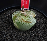 XP1026-Conophytum ursprungianum 우르스프런기아눔    분할중|