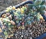천대전송금철화 Pachyphytum compactum