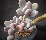 오비포럼 Pachyphytum oviferum