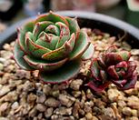 환엽롱기시마 1-476 Echeveria longissima