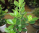 신종하트고무나무-이쁜외목새집증후군에 아주 강한 관엽|