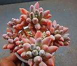 경미인묵은둥이 1016-2087|Pachyphytum oviferum cv. Kyobijin