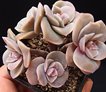 러블리로즈(자연산한몸) Lovely Rose