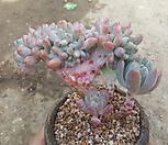 동미인철화|Pachyveria pachyphytoides Walth