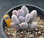 홍미인 850117S|Pachyphytum ovefeum cv. momobijin