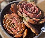 브라운로즈|Echeveria Brown Rose