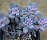 아모에나금 7101-1862 Echeveria amoena
