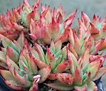 긴잎적성(묵은둥이-자연군생) 7101-1867 Echeveria agavoides Akaihosi