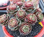 환엽롱기시마 자연군생1-724 Echeveria longissima