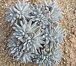 화이트그리니28두분지중목질좋음|Dudleya White gnoma(White greenii / White sprite)