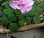 분홍겹사랑초,리두란스|