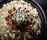 원종자라고사목질 Echeveria mexensis Zaragosa