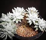 화이트그리니 Dudleya White gnoma(White greenii / White sprite)