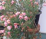 초연초,분홍,특대품|