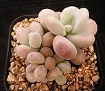 아메치스 6-215|Graptopetalum amethystinum