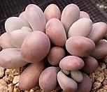 아메치스a-184|Graptopetalum amethystinum