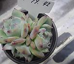 (1/19)콜로라타한몸42|Echeveria colorata