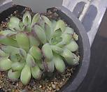 (1/19)멕시코폴덴시스68|Echeveria Pulidonis