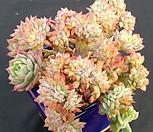 블랫블루아나철화|Echeveria bradburiana