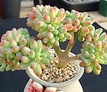 애심철화|Sedum pachyphyllum thin blue form