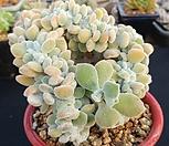 금사황철화|Echeveria setosa Hybrid