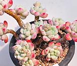 핑크라울120-6 묵은한몸군생|Sedum Clavatum