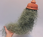 황토걸이분[특대]2 수염 틸란드시아 폭스테일/에어플랜트 (공중식물)/소품/공기정화 식물/인테리어 효과도 좋아요...|