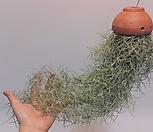 황토걸이분[M] 수염 틸란드시아 폭스테일/에어플랜트 (공중식물)/소품/공기정화 식물/인테리어 효과도 좋아요...|