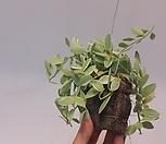 [초특가]디시디아 미니 화이트[소품][틸란드시아]틸란 디시디아 A급/에어플랜트 (공중식물)/소품/공기정화 식물/인테리어 효과도 좋아요.|