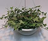 Ivy  별 아이비 무늬 걸이분 (대)/아이비/별아이비/공기정화 식물|
