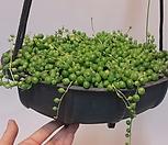 콩란 술통 걸이분(M) 콩 /공기정화식물/고무나무/콩고/야자/스킨/스파트/아이비/별아이비/공기정화 식물|