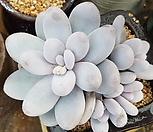 수입)오비포럼 자연군생(대)|Pachyphytum oviferum