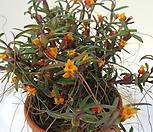 신품종주황색꽃 메디오칼카|