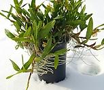 뿌리가 튼실하고 풍성한디네마1 (중대품)|