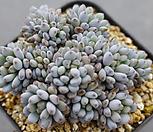 7141. 블루빈스 Graptopetalum pachyphyllum Bluebean