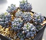 7145. 블루빈스 Graptopetalum pachyphyllum Bluebean