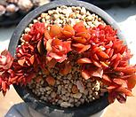 미니고사옹철화(묵은둥이)0121-1|Echeveria carnicolor