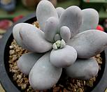 오비포럼 1-579|Pachyphytum oviferum