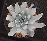 두둘레야 브리티니목대|DUDLEYA pulverulenta