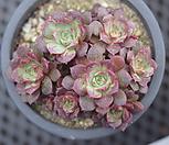롱기시마군생|Echeveria longissima