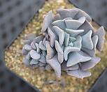 큐빅후로스티군생|Echeveria pulvinata Frosty
